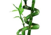 bamboo_290